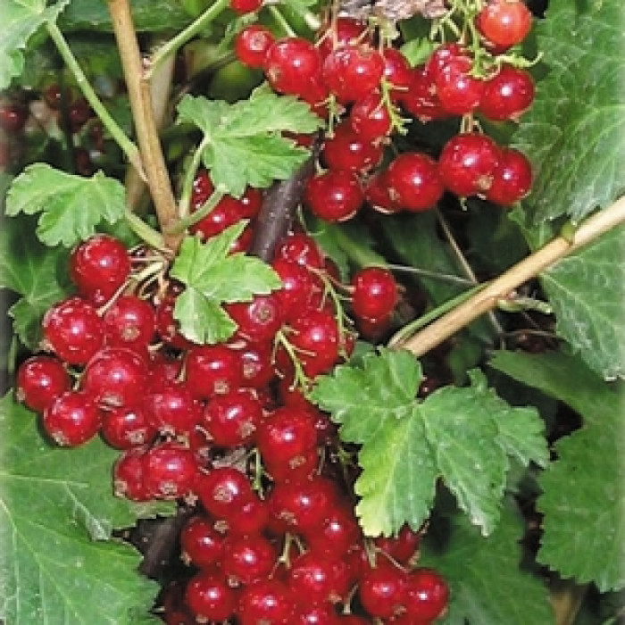 Разсад червено френско грозде