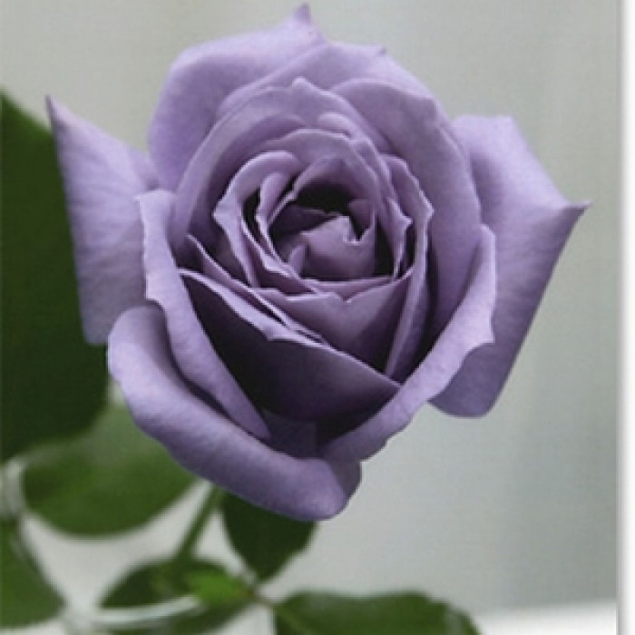 Роза - корен blue Sky