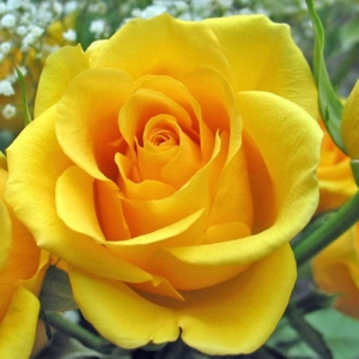 Роза - корен Old Gold