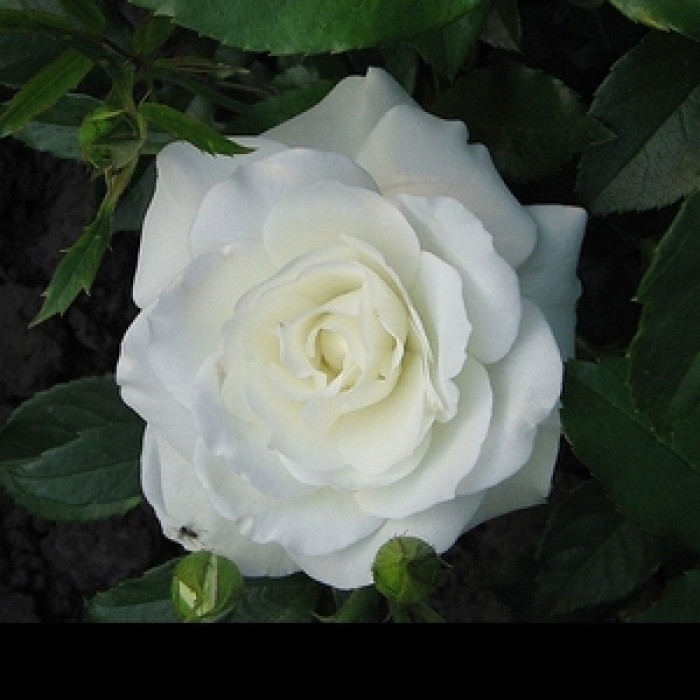 Роза корен Ice Lake