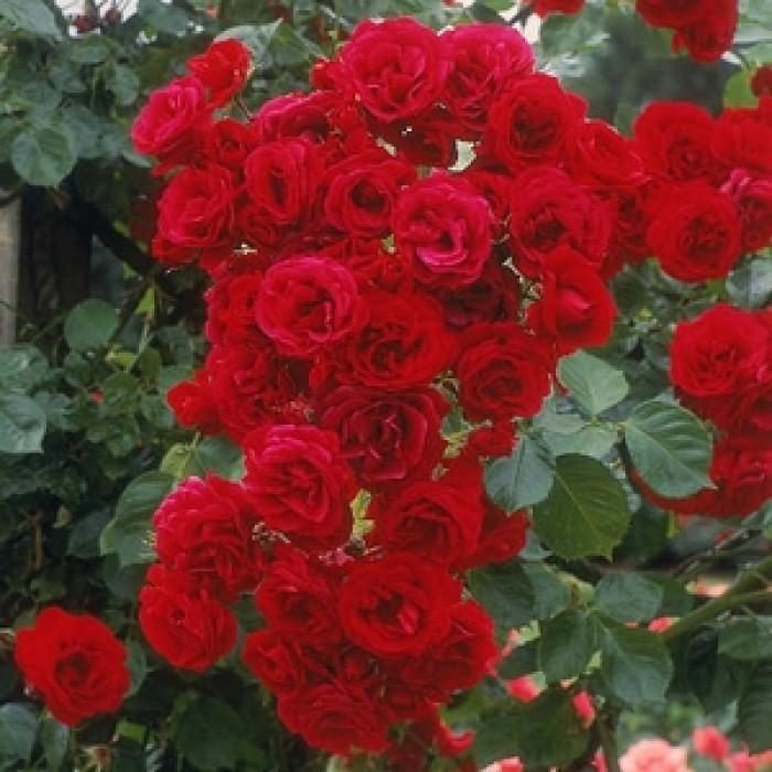 Роза - корен Red House