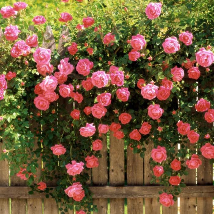 Рози - корен Fairy Tale
