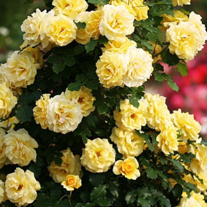 Рози корен Yellow Spring
