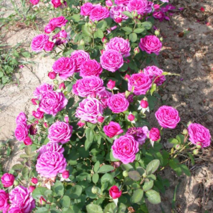 Роза корен - Purple Mist