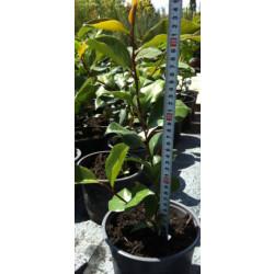 Камелия Camellia 30/40 2L