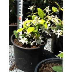 Звездовиден жасмин Rhyncospermum jasminoides 15/20 1.5L