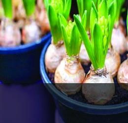 Семена, луковици